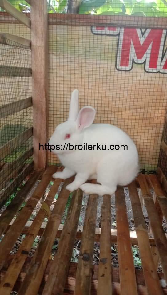 jenis-jenis kelinci beserta harganya